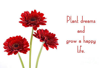 Gerbera Viridifolia Photograph - Red Gerbera Flowers With Inspirational Quote.  by Milleflore Images