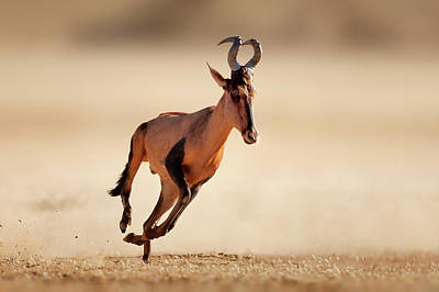 Photograph - Red Hartebeest Running by Johan Swanepoel