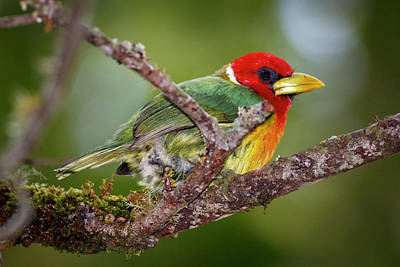 Photograph - Red-headed Barbet Alcazares Manizales Colombia by Adam Rainoff