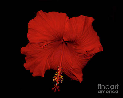 Photograph - 1- Red Hibiscus by Joseph Keane