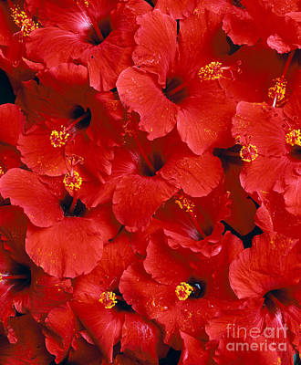 Red Hibiscus Art Print by Tomas del Amo - Printscapes