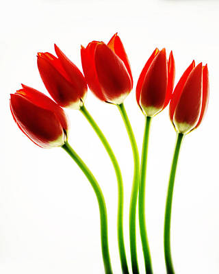 Flower Tulips Photograph - Red Hots by Rebecca Cozart