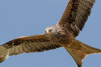 Red Kite Art Print by Ian Hufton
