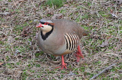 Photograph - Red-legged Partridge by Andrea Everhard