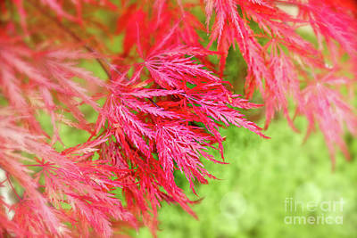 Japanese Maple Photograph - Red Maple Leaves by Delphimages Photo Creations