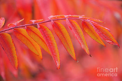 Autumn Leaf Photograph - Red On Red by Mike Dawson