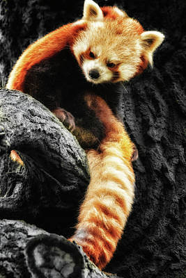Photograph - Red Panda by Chris Boulton