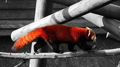 Red Panda Photograph - Red Panda by Martin Newman