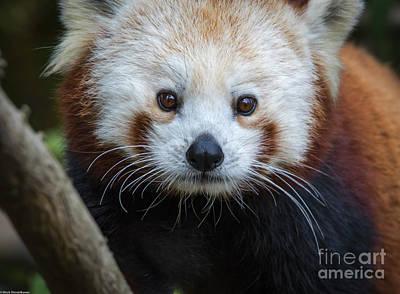 Photograph - Red Panda Portrait  by Mitch Shindelbower
