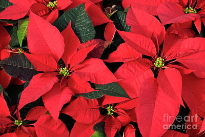 Photograph - Red Poinsettias by Jill Lang