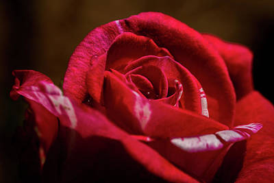 Photograph - Red Rose by Jay Stockhaus