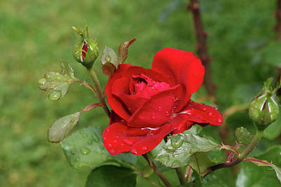 Jim Nelson Photograph - Red Rose by Jim Nelson