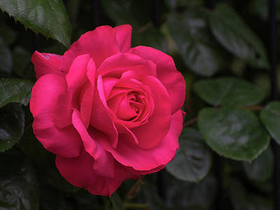 Photograph - Red Rose by Keith Boone