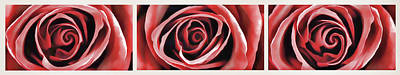 Red Rose 1 Art Print by Lanjee Chee