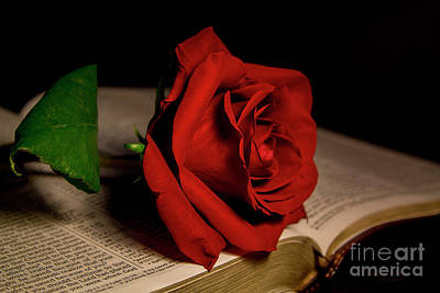 Photograph - Red Rose by Mechala Matthews