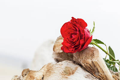 Sad Photograph - Red Rose On The Beach. Love, Romance, Melancholy Concepts. by Michal Bednarek