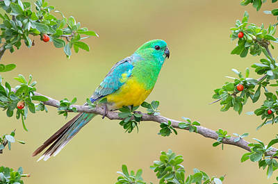 Red Digital Art - Red-rumped Parrot by Maye Loeser