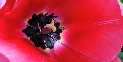 Photograph - Red Sensation by Bruce Bley