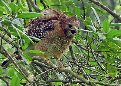 Photograph - Red-shouldered Hawk by Farol Tomson