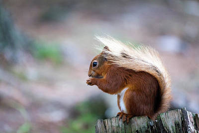 Red Squirrel Wall Art - Photograph - Red Squirrel by Anita Nicholson