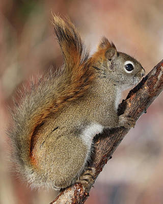 Photograph - Red Squirrel by Doris Potter