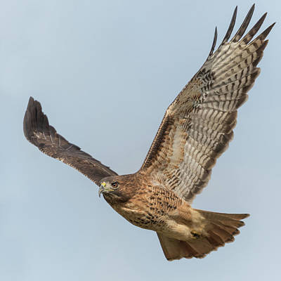 Red Tail Hawk Photograph - Red Tail Hawk In Flight by Angie Vogel