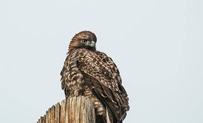 Photograph - Red Tailed Hawk 7 by Rick Mosher