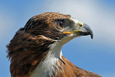 Hawks Photograph - Red-tailed Hawk by Alan Lenk
