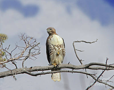 Red Photograph - Red-tailed Hawk by Gary Wing