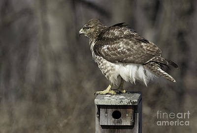 Photograph - Red Tailed Hawk by Jeannette Hunt