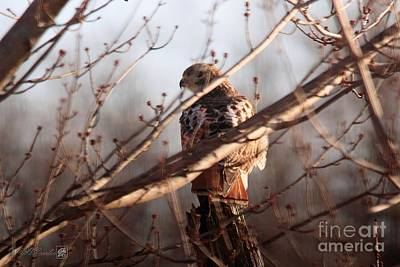Photograph - Red-tailed Hawk On A Post by J McCombie