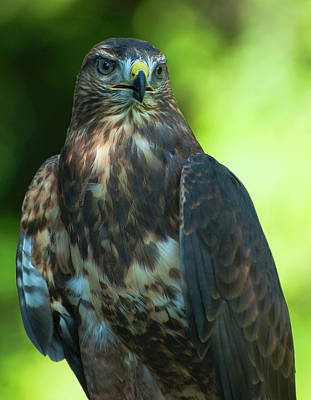 Photograph - Red Tailed Hawk by Pat Exum