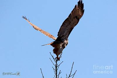 Photograph - Red-tailed Hawk Takes Flight by J McCombie
