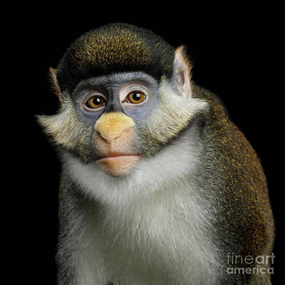 Photograph - Red-tailed Monkey by Sergey Taran