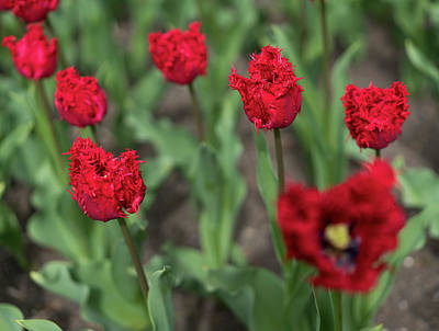 Photograph - Red Tulips by Radoslav Nedelchev
