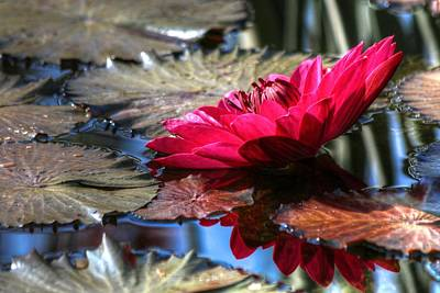Photograph - Red Water Lily  by Carol Montoya