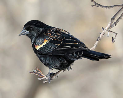 Photograph - Red-winged Blackbird by Doris Potter