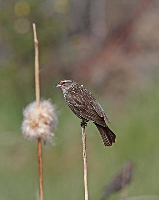 Brown Photograph - Red-winged Blackbird by Gary Wing