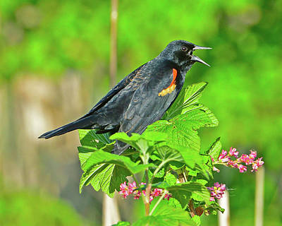 Photograph - Red-winged Blackbird by Jack Moskovita