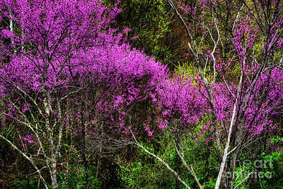 Cercis Photograph - Redbud In The Woods by Thomas R Fletcher