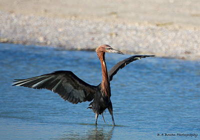 Blue Hues - Reddish Egret by Barbara Bowen