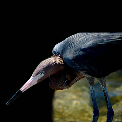 Photograph - Reddish Egret by David Weeks