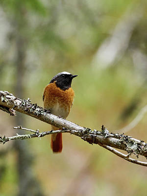 Photograph - Redstart by Jouko Lehto