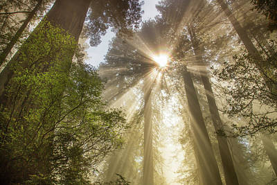 Redwoods Sunburst Art Print