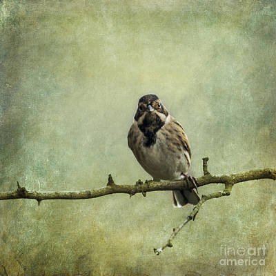 Photograph - Reed Bunting Emberiza Schoeniclus by Liz Leyden