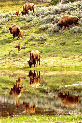 Photograph - Reflections Of The Lamar Valley Bison Herd by Adam Jewell