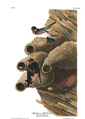 Swallow Wall Art - Painting - Republican Or Cliff Swallow by John James Audubon