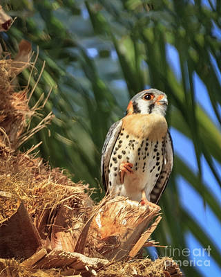 Hawk Mixed Media - Resting American Kestrel  by Robert Bales