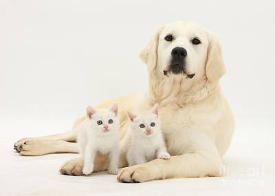 House Pet Photograph - Retriever With Friendly Kittens by Mark Taylor