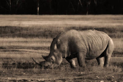 Photograph - Rhinoceros by Michel Legare